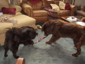 A young Roxie and Mocha playing tug-of-war.